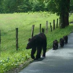 Cade's Cove Mama Bear & her Cubs? - Teddy - Cade's Cove Mama Bear & her Cubs? Cade's Cove Mama Bear & her Cubs? Cute Baby Animals, Animals And Pets, Wild Animals, Beautiful Creatures, Animals Beautiful, Smoky Mountain National Park, Cades Cove, Great Smoky Mountains, Nc Mountains