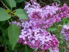Lilacs.  Oh how I miss lilacs!  Crepe Myrtles are awesome but they don't smell.
