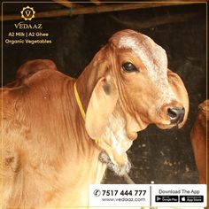 We are Pune's Milk Brand. Our milk is organic milk from desi cows. We deliver farm fresh organic vegetables at your doorstep in the morning. Milk Brands, Organic Vegetables, Go Green, Cows, Desi, Calves, Girly, India, Horses