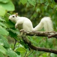 White squirrel -- i saw one on a camping trip. Brevard|Historic Small Towns|Blue Ridge Mountains | Blue Ridge National Heritage Area