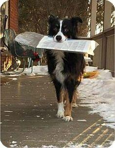 Burton, MI - Australian Shepherd. Meet Dee Dee, a dog for adoption. http://www.adoptapet.com/pet/15061469-burton-michigan-australian-shepherd