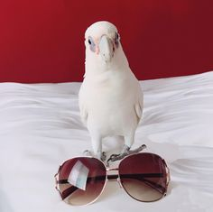 Hi cloudy~ Do you like our brand new sunglasses?   He chose our sunglasses ! You should also choose anytimeglasses for your eyewear :D  #anytimeglasses #anytimesunglasses #sunglasses #fashionsunglasses #fashion #eyewear #ootd #korean #koreanstyle #parrot #pet #california #sandiego