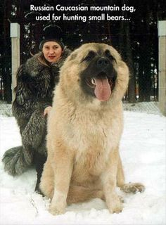 """Funny Animals of The Day.–12 Pics """"This Russian Caucasian Mountain dog used for hunting small bear"""""""