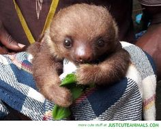 A selection of amazingly cute pictures of sloths. Includes baby sloths, sloths with teddy bears and mommy and baby sloths togetherGet ready for cuteness! Pictures Of Sloths, Cute Sloth Pictures, Cute Baby Sloths, Cute Baby Animals, Funny Animals, Otter, Spirit Animal, Animals Beautiful, Pet Birds