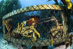 Researchers find that thousands of lost traps sitting on the ocean floor will destroy lobsters' habitats as cyclones become more frequent.