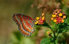 Red Lacewing butterfly aligned with beauty!