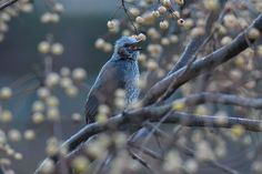 Brown-eared bulbul by Mubi.A
