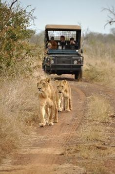 Lions in Swaziland. I want to do this someday..