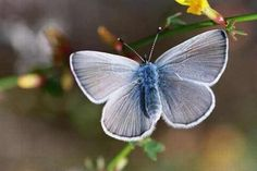 The Palos Verdes Blue is the rarest butterfly in the world. Presumed extinct until 1994, when researchers discovered a population in San Pedro, California. A breeding program was initiated and seems to be successful, but there are still only several hundred in the wild.