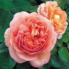 Abraham Darby heter denne skjønnheten. Foto: davidaustinroses.co.uk