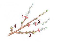 Triebarten des Pfirischbaums