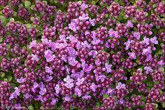 Thymus praecox - Flickr - Photo Sharing!