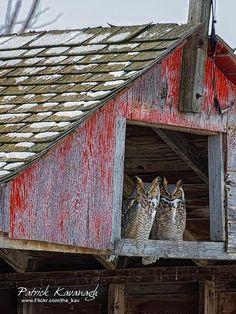 Pair of Great Horned Owls in a barn loft