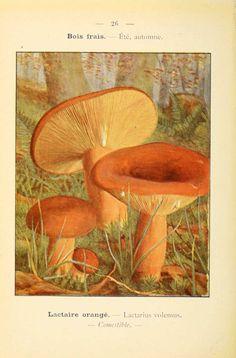 PL  26 - img/planches-dessins champignons/lactarius volemeus - lactaire orange - comestible. P. Dumée - 1912