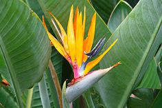 Bird of Paradise plant is easy to care. Strelitzia is an outdoor flowering plant. Plants Around Pool, Pool Plants, Jade Plants, Tropical Plants, Outdoor Flowering Plants, Strelitzia Plant, Canary Island Date Palm, Paradise Pools, Florida Native Plants