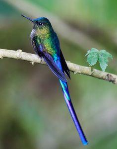 Céu-azul, Cometa-colivioleta ou Silph de cauda-violeta (Aglaiocercus coelestis)
