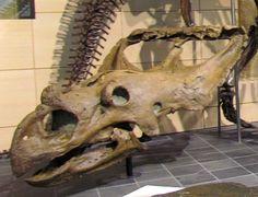 Vagaceratops irvinensis, NMC 41357,  Musée canadien de la nature. Dinosauria, Ornithischia, Marginocephalia, Ceratopsidae, Chasmosaurinae. Auteur : D. Gordon E. Robertson, 2011.