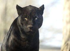 black jaguar. #gazing through nature's door 4