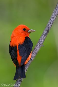 Scarlet Tanager-in the 8th grade my science teacher had a thing about birds and made us learn a lot of them.  This was my favorite of those.