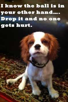 Cavalier King Charles meme, drop the ball., #dogmeme #funny