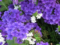 Purple Flowers by pencildancer, via Flickr