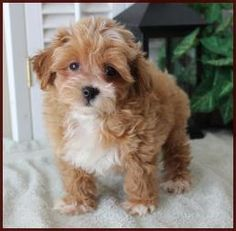 Morkie Puppies For Sale Iowa >> 1000+ images about Puppy Love on Pinterest | Morkie puppies for sale, Puppies for sale and ...