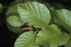 Alnus viridis crispa American Green Alder