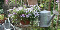 """Stedmoder og hornvioler får jo en """"anden ungdom"""" ved at blive klippet ned. Det er der rigtig mange blomster - både sommerblomster og stauder (flerårige) - der gør. TEKST: MARIANNE FOTO: LENE, LONE, KARINA"""
