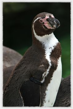 Penguin. Penguins And Polar Bears, Nature Photos, Family Photos, The Past, Poses, Landscape, Image, Family Pictures, Figure Poses