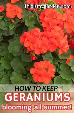 House Flowers 10668 With a little care, you can keep your geraniums thriving and blooming all summer long. Check out these simple tips to keep your potted and planted geraniums looking great! Flower Care, Outdoor Flowers, Plants, Growing Geraniums, Geraniums, Planting Herbs, Flowers, Container Gardening, Container Gardening Flowers