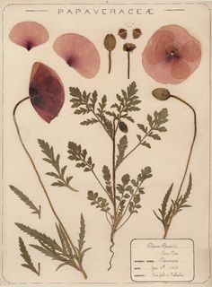 Herbarium specimen of common poppy, Papaver rhoeas, collected 1895 by Frances Giles, a pharmacist, near Folkestone, Kent from the Royal Botanical Garden