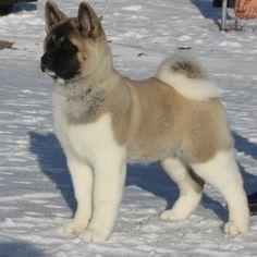 Anjing ras American Akita