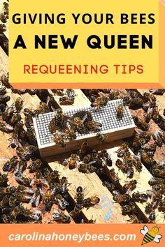 Tips to help you be successful in requeening your hive. #carolinahoneybees #requeenahive #beekeepingtips