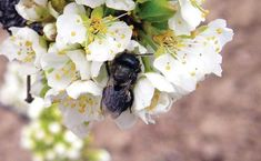 Looking to attract mason bees to your orchard or garden? Provide them with mason bee boxes where they can lay their eggs. Drone Bee, Bee Hive Plans, Mason Bees, Bee Boxes, Mother Earth News, Nesting Boxes, Bees Knees, Queen Bees, Garden Supplies