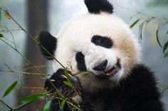 Sechuan, China: A panda eating bamboo. This image is from World's Wildest Encounters.    ZDF Enterprises/ Andreas Kieling