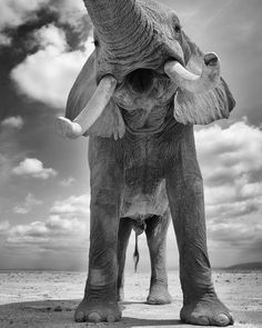Beautiful photoI love it.. From :@markjdrury -  Bull Elephant  Thank you Mark  For info about promoting your elephant art or crafts send me a direct message @elephant.gifts or emailelephantgifts@outlook.com  . Follow @elephant.gifts for inspiring elephant images and videos every day! . .  #elephant #elephants #elephantlove Фильм Прекрасные Создания, Морские Слоны, White Elephant, Слоны, Царство Животных, Динозавры, Африканский Слон, Фотографии Природы, Импрессионизм