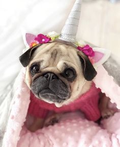 Baby Pug Dog, Pug Accessories, Fluffy Kittens, Pug Pictures, Animal Costumes, Super Cute Animals, Pug Puppies, Cute Pugs, Pug Love
