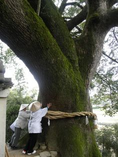 Pilgrims touching a beautiful #tree at Daikoji #Temple in Kagawa Prefecture. 67th temple of Shikoku Pilgrimage which consists of 88 temples. The 88 Temple Pilgrimage is Japan's most famous pilgrimage #route, a 1,200 kilometer loop around the island of Shikoku.
