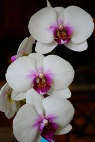 A beautiful orchid, like the one my sweet love gave me. Every day I look at it and it's alive, unlike a bouquet, i get to look at it every day. Xoxo.