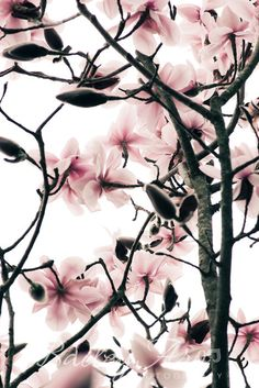 Pink Magnolia Tree Branches Flower Photograph - Feminine Nature Flower Photography. $25.00, via Etsy.