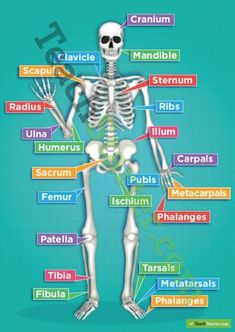 The Human Skeletal System Poster Teaching Resources Teach Starter Human Body Anatomy, Human Anatomy And Physiology, Yoga Anatomy, Musculoskeletal System, Nursing School Notes, Human Body Systems, Human Body Unit, Human Human, Medical Anatomy