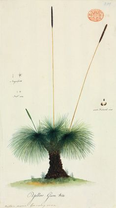 Grass tree, Xanthorrhoea australis. Port Jackson Painter  Watercolour and ink, c1788 - 1797
