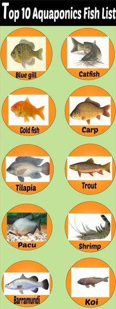 aquaponics fish species