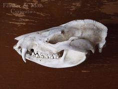 Opossum Skull.  Natural history curiosity