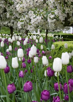 Tulip Planting Now for Spring 2013 | Carolyne Roehm