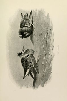Ruffs. Lord Lilford on birds  London,Hutchinson,1903.  Biodiversitylibrary. Biodivlibrary. BHL. Biodiversity Heritage Library