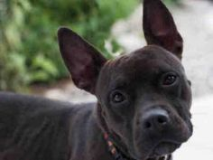 french bulldog pitbull mix french bulldog pitbull mix 4543