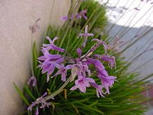 Society garlic - Tulbaghia Violacea (Member of agapanthus family) Garden Pests, Herb Garden, Lawn And Garden, Perennial Bulbs, Herbaceous Perennials, Garlic Seeds, Flower Bed Designs, Types Of Herbs, Gardening