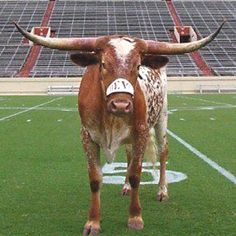 Bevo, mascot of the University of Texas at Austin. The history behind the name for the mascot can be found at:  http://www.texasexes.org/uthistory/traditions.aspx