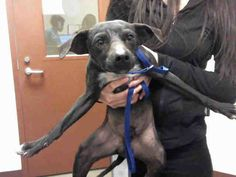 Pictures of BARSTON a Chihuahua for adoption in Phoenix, AZ who needs a loving home.